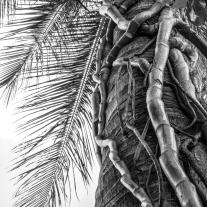 A palm tree on Maui has vines creeping up its trunk Not So SAHM