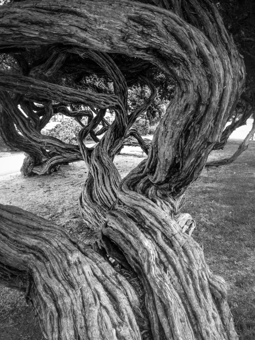 A tree spreads its sinewy trunk and branches in Monterey, CA. NotSoSAHM