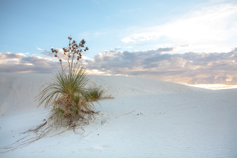A soaptree yucca survives in the dunes of White Sands National Monument. Not So SAHM