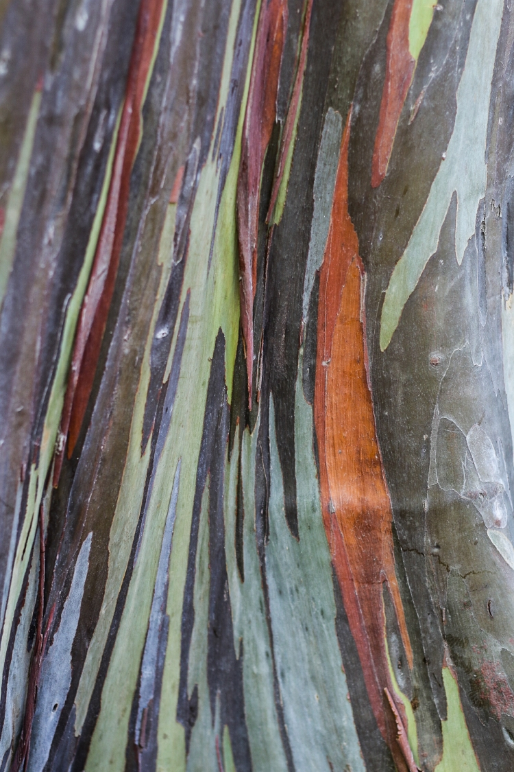 A close up of the bark of a rainbow eucalyptus. Not So SAHM