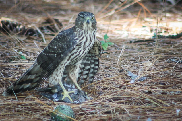 A predatory bird sits on top of his dead prey as he begins to eat. Not So SAHM
