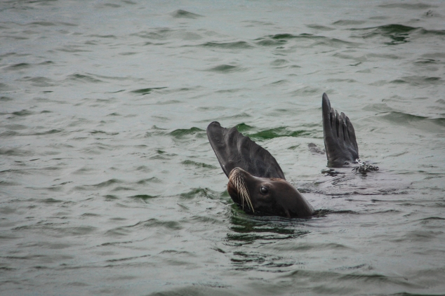 A swimming sea lion lifts his flippers above the water in order to regulate his body temperature. Not So SAHM