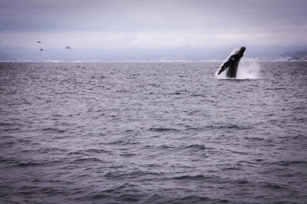 A whale breaches in Monterey Bay California. Not So SAHM
