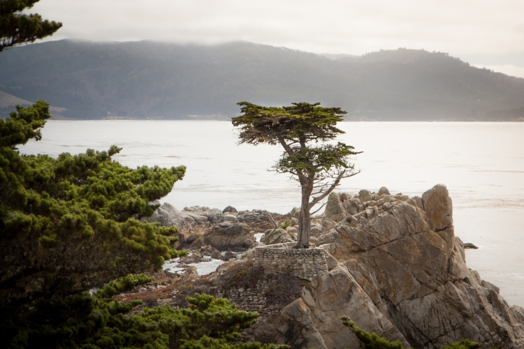 The Lone Cypress stands on an outcropping of stone along 17 Mile Drive in Pebble Beach. Not So SAHM