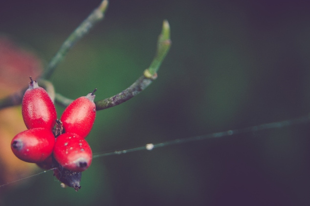 A cluster of dogwood berries stand out on an otherwise barren branch. Not So SAHM