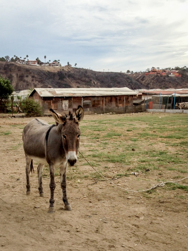 A donkey stands with a rope lead in a destitute neighborhood with a wealthy neighborhood on a hilltop in the distance. Not So SAHM