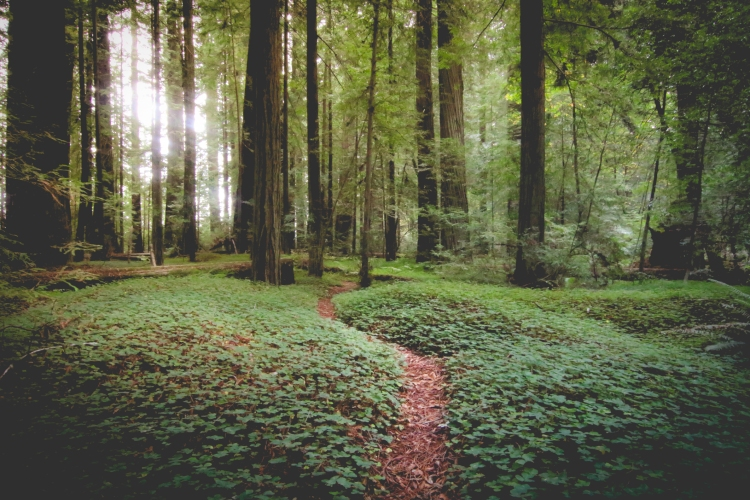 A pathway cuts through the underbrush in a redwood forest. Not So SAHM