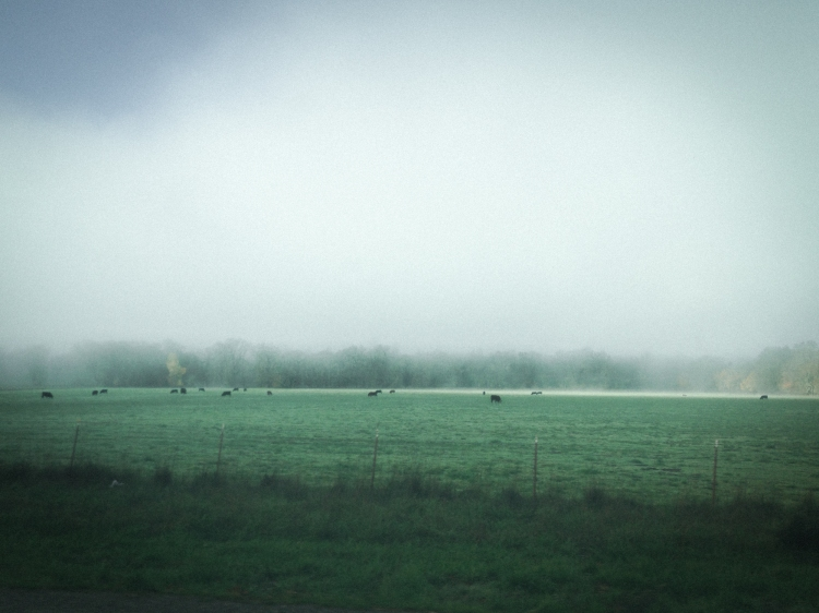 Cows eating peacefully in a green field in Northern California. Not So SAHM