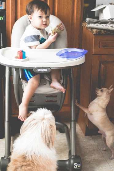 young boy sits in high chair while his dogs beg for food. Photo by VSD Photography